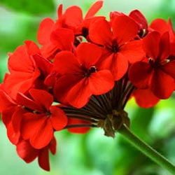 Geranamine, also known as , comes from oils extracted from geranium flowers.